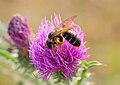 Halictus quadricinctus - Burgenland.jpg