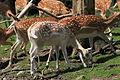 Haltern - Naturwildpark Granat - Dama dama dama 78 ies.jpg
