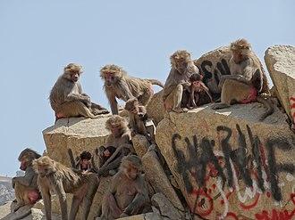 Wildlife of Saudi Arabia - Hamadryas baboons in the Hijaz Mountains near Al Hada, Makkah Province, Hejaz