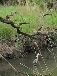 Hamburg, Naturschutzgebiet Flottbektal, Graureiher und Teichhuhn, WDPA ID 81677.jpg