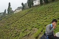 Happy Valley Tea Estate, Darjeeling (8716424341).jpg