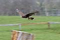Harris Hawk - Woburn Safari Park (4582215554).jpg