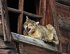 Hauskatze an einem Scheunenfenster in Grossarl.JPG