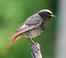 Liste des oiseaux en france m tropolitaine wikip dia for Liste oiseaux des jardins