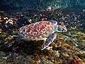 Hawksbill Sea Turtle (Eretmochelys imbricata).jpg