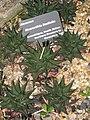 Haworthia limifolia - Atlanta Botanical Garden.JPG