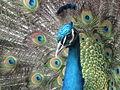 Head Peacock.jpg