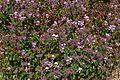 Heart-leaved Pelargonium (Pelargonium cordifolium) (32832467161).jpg