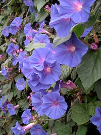 HeavenlyBlueMorningGlory12Aug2004h12pm30