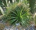 Hechtia epigyna, Elfenau.jpg