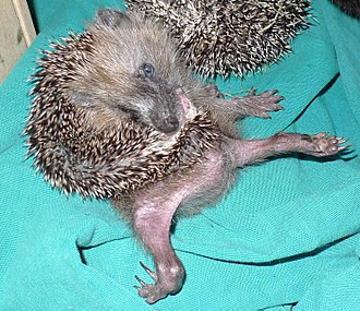 Self-anointing in animals - A hedgehog self-anointing
