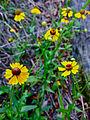 Helenium flexuosum - Purple sneezeweed.jpg