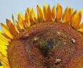 Helianthus annuus-IMG 9244.jpg