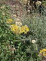 Helichrysum italicum RHu 02.JPG