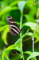 Heliconius Charitonius Butterfly (6917398797).jpg
