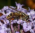 Helophilus pendulus (Common Tiger Hoverfly) - Flickr - S. Rae.jpg