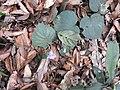 Henckelia repense-1-chemunji-kerala-India.jpg