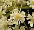 Heracleum sphondylium 12 ies.jpg