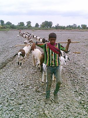 Herder - A herdboy with his sheep in search of fodder at Chinawal, India