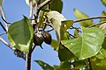 Heritiera longipetiolata (2).jpg