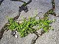 Herniaria glabra sl15.jpg