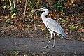 Heron with prey 8-1-17 (32066186761).jpg
