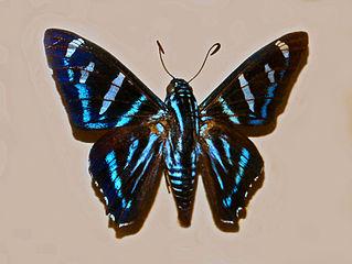 Sưu tập Bộ cánh vẩy 2 - Page 42 319px-Hesperidae_-_Jemadia_menechmus