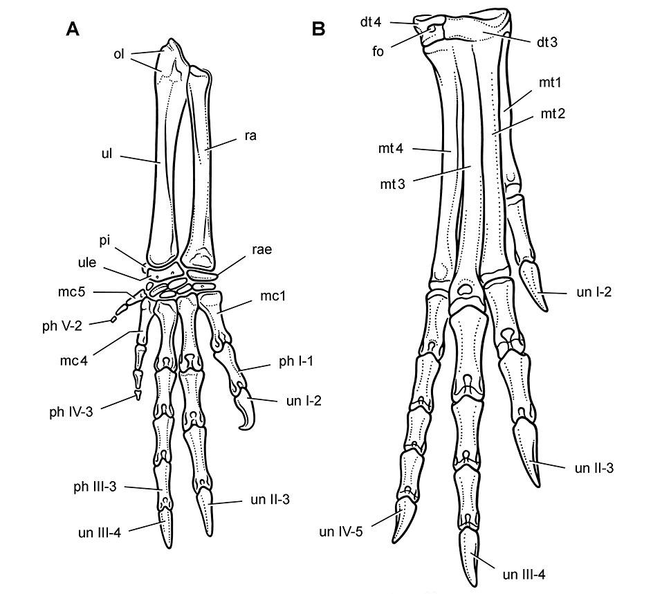 Heterodontosaurus limbs