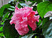 Hibiscus Double-flowered cultivars, Burdwan, West Bengal, India.jpg