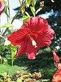Hibiscus Hibiscus moscheutos NYBG.jpg