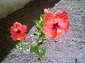 Hibiscus rosso.JPG