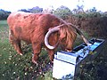 Highland Cow at Headley Heath - geograph.org.uk - 103786.jpg