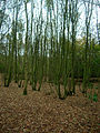Highpark Wood - geograph.org.uk - 596350.jpg