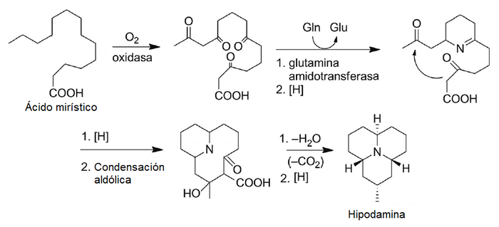 Hippodamine biosynthesis.png