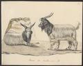 Hircus aegagrus - 1700-1880 - Print - Iconographia Zoologica - Special Collections University of Amsterdam - UBA01 IZ21300233.tif