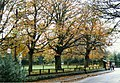 Horse chestnuts lining the road at Daresbury Village - geograph.org.uk - 350158.jpg