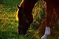 Horse during golden hour.jpg