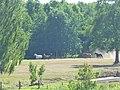 Horses near Pentowo.jpg