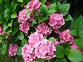 Hortensien rosa Farbe.jpg