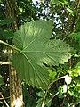 Humulus lupulus (14354596615).jpg
