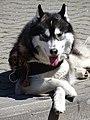 Husky Strikes a Pose - City Park - Brest - Belarus (27447049376).jpg