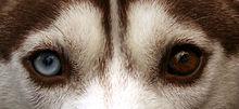 Un husky con occhi impari