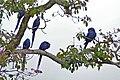 Hyacinth Macaws (Anodorhynchus hyacinthinus) (29256698086).jpg