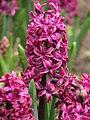 Hyacinthus cv. 01.JPG