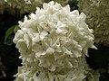 Hydrangea in iran گلها و گیاهان گلدار ایرانی 11.jpg