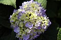 Hydrangea macrophylla Endless Summer 2zz.jpg