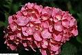 Hydrangea macrophylla Enziandom 1zz.jpg