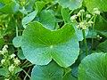 Hydrocotyle bonariensis Lam. P9080080 (50409078578).jpg