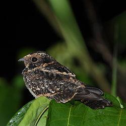 Hydropsalis maculicaudus - Caprimulgus maculicaudus - Spot-tailed Nightjar.JPG