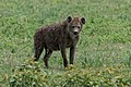 Hyena Looking at Something in the Bushes (49898524828).jpg